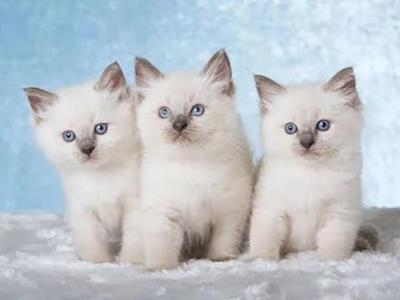 Gorgeous Ragdoll Kittens - Ragdoll - Gallery Photo #1