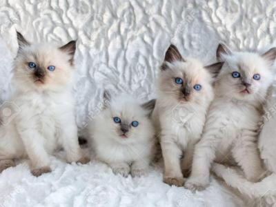Gorgeous Blue Seal Male Avail - Ragdoll - Gallery Photo #1