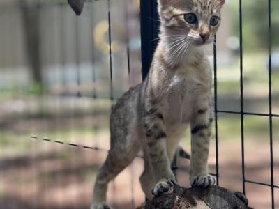 Savannah Kitten Available Jun 11th - Savannah - Gallery Photo #1