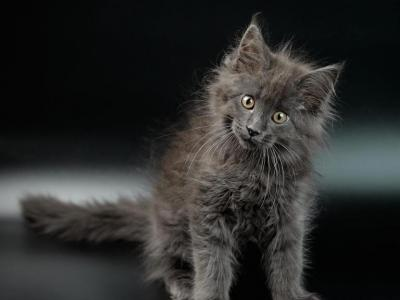 Tom - Maine Coon - Gallery Photo #1