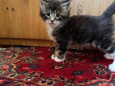 Pirate - Maine Coon - Gallery Photo #1