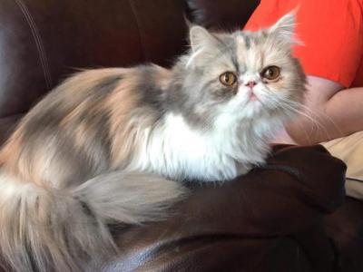 Cleopatra's  Precious Persian Kittens - Persian - Gallery Photo #1