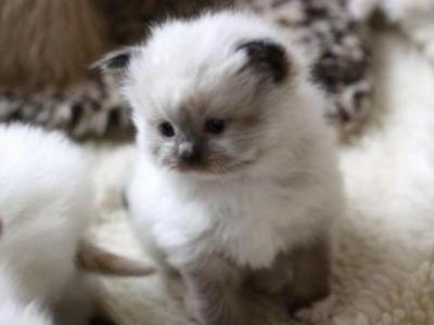 Perfect Seal Point Beauties Taking Deposits Now - Ragdoll - Gallery Photo #1