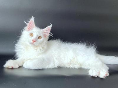 Alice - Maine Coon - Gallery Photo #1