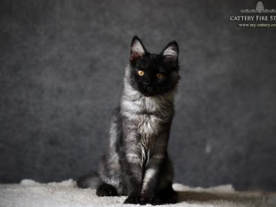 Nula - Maine Coon - Gallery Photo #1