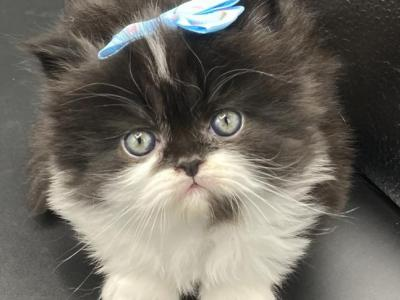 Purr Angels - Persian - Gallery Photo #1