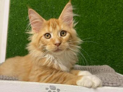 Adel - Maine Coon - Gallery Photo #1