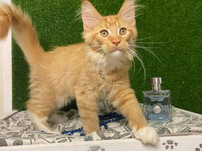 Arnold - Maine Coon - Gallery Photo #1