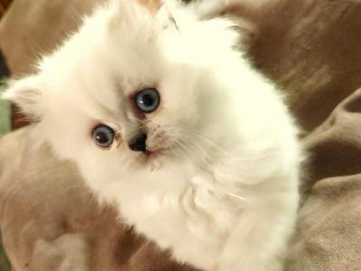 Cuddly CFA Registered Blue Point Himalayan Kitten - Himalayan - Gallery Photo #1