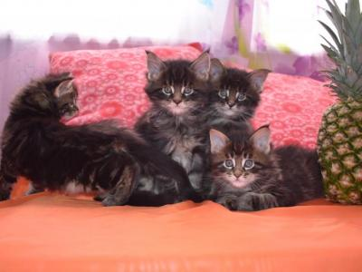 Kitty - Maine Coon - Gallery Photo #1