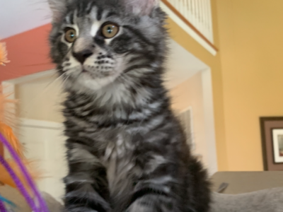 Maine Coon Male Kitten - Maine Coon - Gallery Photo #1