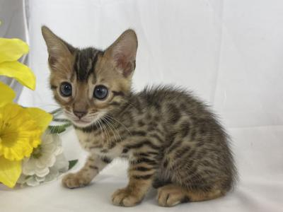 Female Bengal For Sale - Bengal - Gallery Photo #1