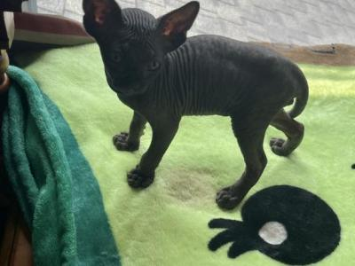 Solid Black Toothless Sphynx Pittsburgh Cleveland - Sphynx - Gallery Photo #1