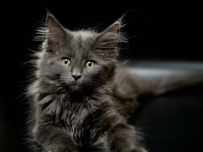 Blue - Maine Coon - Gallery Photo #1