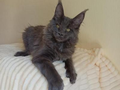 Queen Reserved - Maine Coon - Gallery Photo #1
