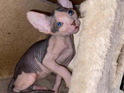 Whiskers - Sphynx - Gallery Photo #1