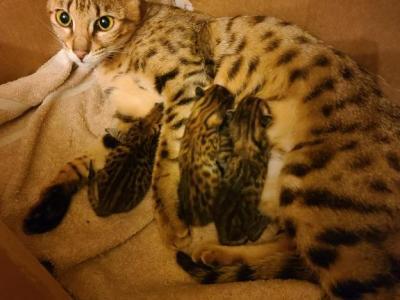 Sammy's Kittens F4 TICA Registered - Savannah - Gallery Photo #1
