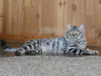 Bengal Long Haired Kittens - Bengal - Gallery Photo #1