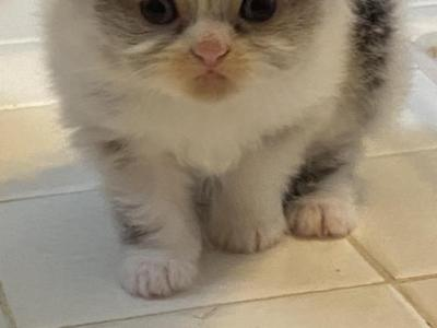 Blue White Points Persian  Kittens - Persian - Gallery Photo #1