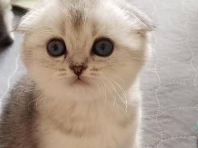 Silver Kittens - Scottish Fold - Gallery Photo #1