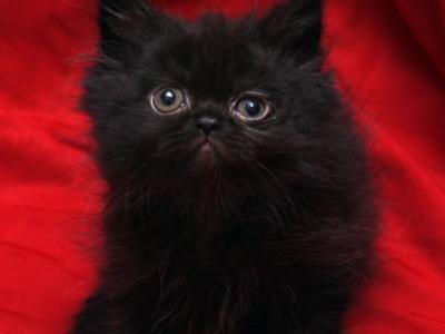 Small Black Bianca X Bo Jangles - Persian - Gallery Photo #1