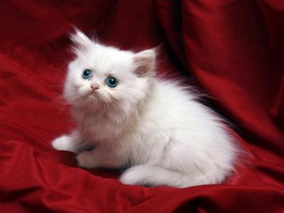 White With Blue Eyes Bianca X Bo Jangles - Persian - Gallery Photo #1