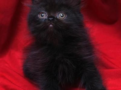 Fuzzy Black Bianca X Bo Jangles - Persian - Gallery Photo #1