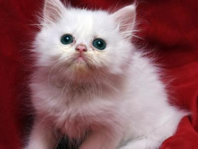 White With Subtle Dots On Head Bianca X Bo Jangles - Persian - Gallery Photo #1