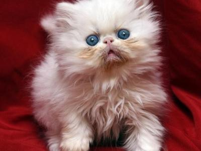 Small White With Blue Eyes Flamicee X Holy Grail - Persian - Gallery Photo #1