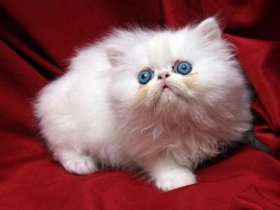 Big White With Blue Eyes Flamicee X Holy Grail - Persian - Gallery Photo #1