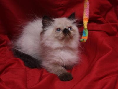 Seal Point Biance X Bo Jangles - Persian - Gallery Photo #1