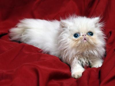 Small White II By Flueffay X The Holy Grail - Persian - Gallery Photo #1