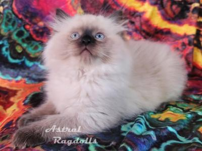 Danae Seal Point Traditional Or Mink - Ragdoll - Gallery Photo #1