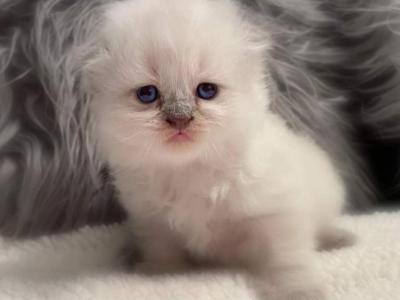 Scottish Fold Kitten - Scottish Fold - Gallery Photo #1