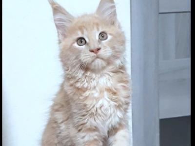 Bassi - Maine Coon - Gallery Photo #1