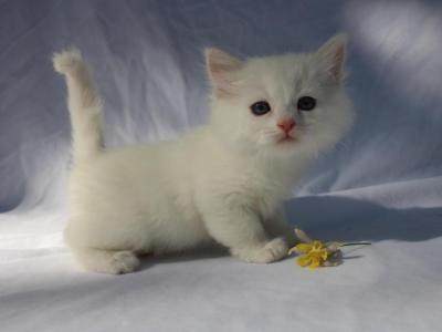 Solid White Two Females And A Male - British Shorthair - Gallery Photo #1