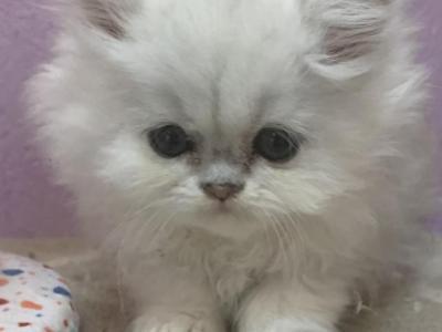 Orange Kitten - Persian - Gallery Photo #1
