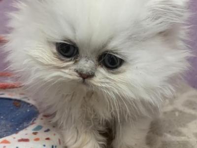 Brown Kitten - Persian - Gallery Photo #1