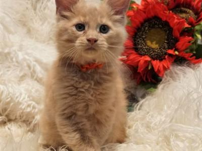 RESERVED Otis Male Amelia X Xaier Litter - Maine Coon - Gallery Photo #1