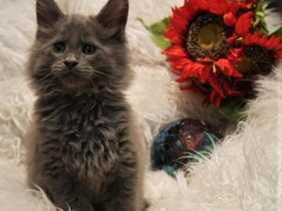 RESERVED Finn Male Amelia X Xaier Litter - Maine Coon - Gallery Photo #1