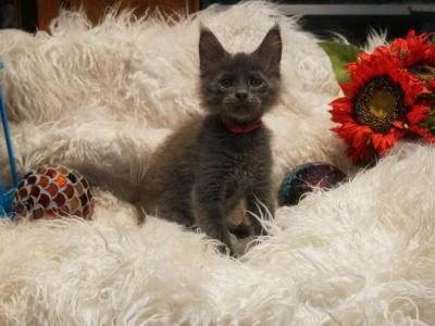 RESERVED Rooster Male Amelia X Xaier Litter - Maine Coon - Gallery Photo #1