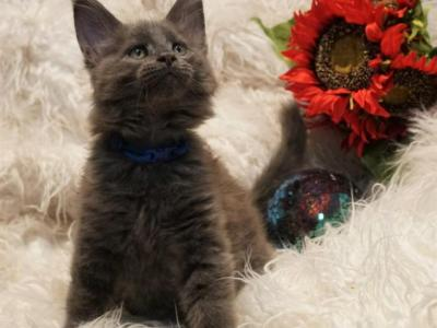 RESERVED Baxter Male Amelia X Xaier - Maine Coon - Gallery Photo #1