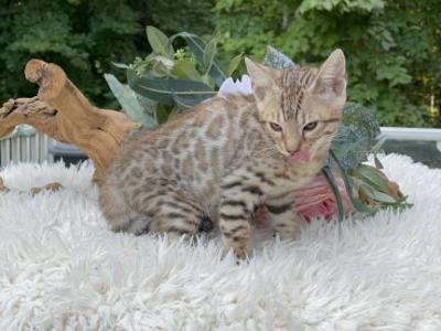 RARE SILVER & CHARCOAL KITTENS - Bengal - Gallery Photo #1
