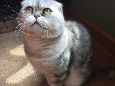 Boo Boos Upcoming Litters - Scottish Fold - Gallery Photo #1