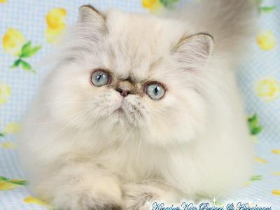 Baby Pheoby - Persian - Gallery Photo #1