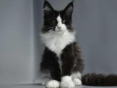 Fresh - Maine Coon - Gallery Photo #1