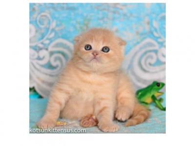 Garfield Cream Scottish Fold Baby Boy - Scottish Fold - Gallery Photo #1