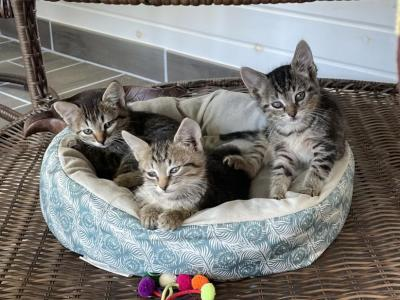 Tabby Kittens - Domestic - Gallery Photo #1