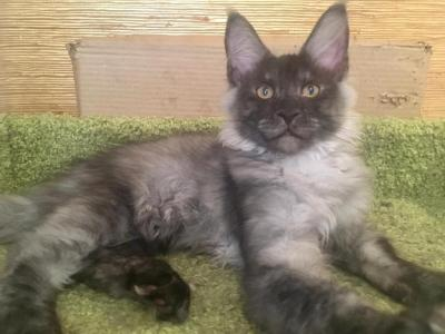 Fil - Maine Coon - Gallery Photo #1