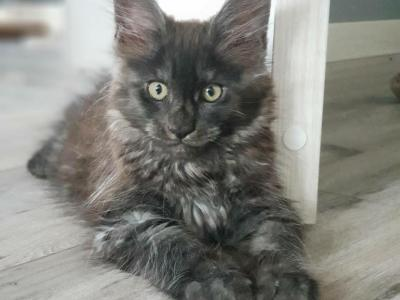 Rich Reserved - Maine Coon - Gallery Photo #1